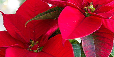 Fancy a Poinsettia with a difference?